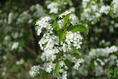 Закройте вверх белых цветков padus сливы Стоковые Фото