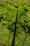 Закройте вверх больших лист пальмы, против солнечного света стоковое изображение rf