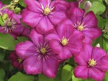 Закройте вверх большого цветя clematis Ville de Лиона стоковое изображение rf