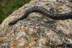 Закройте вверх большой змейки сумматора европейца не ядовитой Стоковые Фото