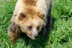 Закройте вверх бурого медведя (arctos) Ursus, верхней части вниз осмотрите Стоковые Изображения