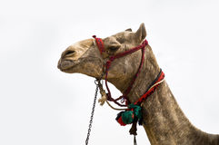 Закройте вверх верблюда пустыни Стоковая Фотография