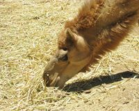 Закройте вверх верблюда Стоковое Изображение