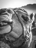 Закройте вверх верблюда Стоковая Фотография