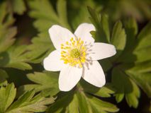 закройте вверх весны белых лепестков цветка деревянной ветреницы красивой Стоковые Фото
