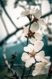 Закройте вверх ветвей заполненных с цветениями миндалины Стоковая Фотография RF