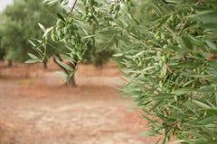 Закройте вверх ветви оливкового дерева с оливками на backround оливковых дерев Стоковые Фото