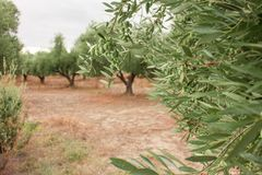 Закройте вверх ветви оливкового дерева с оливками на backround оливковых дерев Стоковое Изображение