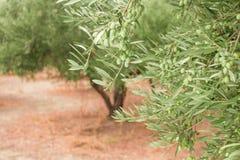 Закройте вверх ветви оливкового дерева с оливками на backround оливковых дерев Стоковые Изображения RF