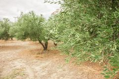 Закройте вверх ветви оливкового дерева с оливками на backround оливковых дерев Стоковые Фотографии RF