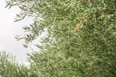 Закройте вверх ветви оливкового дерева с оливками на backround оливковых дерев Стоковое фото RF