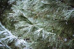 Закройте вверх ветви сосны на идя снег день Предпосылка зимы с Стоковое Фото