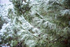 Закройте вверх ветви сосны на идя снег день Предпосылка зимы с Стоковая Фотография