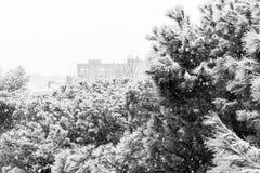 Закройте вверх ветви сосны на идя снег день Предпосылка зимы с Стоковые Фото