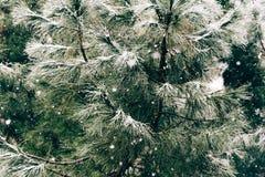 Закройте вверх ветви сосны на идя снег день Предпосылка зимы с Стоковые Фотографии RF