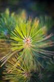 Закройте вверх ветви сосны Стоковое Изображение