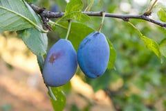 Закройте вверх ветви сливы с зрелыми сочными плодоовощами на sunse Стоковое Изображение RF