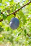 Закройте вверх ветви сливы с зрелыми сочными плодоовощами на sunse Стоковые Фотографии RF