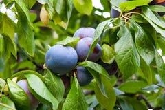 Закройте вверх ветви сливы с зрелыми сочными плодоовощами на sunse Стоковая Фотография