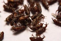 Закройте вверх взрослого oryzae долгоносиков риса Sitophilus изолированного на w Стоковое Фото