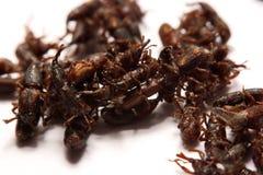Закройте вверх взрослого oryzae долгоносиков риса Sitophilus изолированного на w Стоковые Фото
