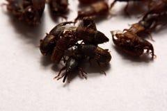 Закройте вверх взрослого oryzae долгоносиков риса Sitophilus изолированного на w Стоковые Изображения