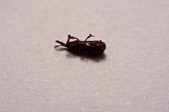 Закройте вверх взрослого oryzae долгоносиков риса Sitophilus изолированного на w Стоковые Фотографии RF