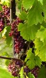 Закройте вверх виноградин Стоковое Изображение