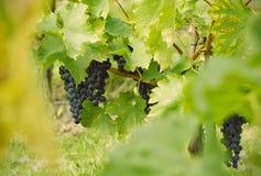 Закройте вверх виноградин Стоковое фото RF