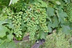 Закройте вверх виноградины Стоковые Изображения