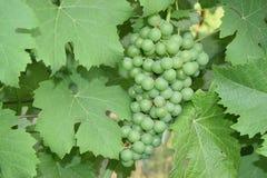 Закройте вверх виноградины Стоковые Фото