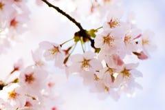 Закройте вверх вишневых цветов Yoshino Стоковые Фотографии RF
