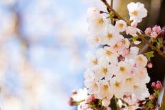 Закройте вверх вишневых цветов Yoshino Стоковая Фотография RF