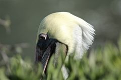 Закройте вверх вложенности пеликана в заводах в La Jolla Калифорнии Стоковое Изображение RF
