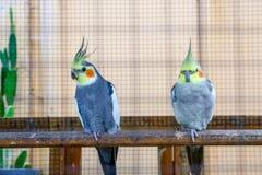 Закройте вверх волнистого попугайчика пар Стоковое Изображение RF