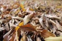 Закройте вверх высушенных листьев осени Стоковые Изображения RF