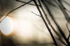 Закройте вверх вянуть хворостины дерева с гололедью Стоковая Фотография RF