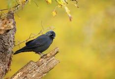 Закройте вверх галки садясь на насест на сухом дереве Стоковые Фотографии RF