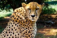 Закройте вверх гепарда вытаращить в камеру Стоковое фото RF