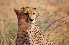 Закройте вверх гепарда в Намибии Стоковые Изображения