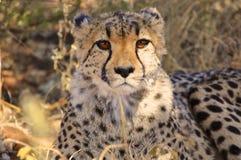 Закройте вверх гепарда в Намибии Стоковые Изображения RF