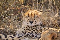 Закройте вверх гепарда в Намибии Стоковое фото RF