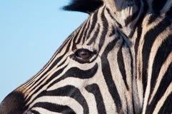 Закройте вверх головки зебры Стоковые Фото