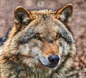 Закройте вверх головы опасного серого волка Стоковое Фото