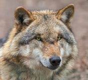 Закройте вверх головы опасного серого волка Стоковые Изображения RF