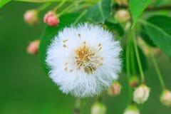 Закройте вверх головы семени одуванчика с селективным фокусом и зеленым цветом Стоковое фото RF