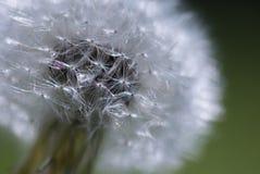 Закройте вверх головы семени одуванчика Стоковые Изображения