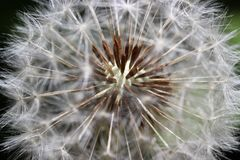 Закройте вверх головы семени одуванчика Taraxacum Стоковые Изображения RF