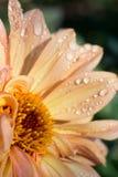 Закройте вверх головы цветка пинка персика с каплями росы стоковые изображения