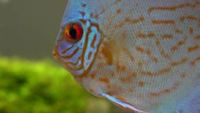 Закройте вверх голубых красных рыб диска в пресноводном аквариуме на blury пузырях предпосылке, увиденный от стороны сток-видео